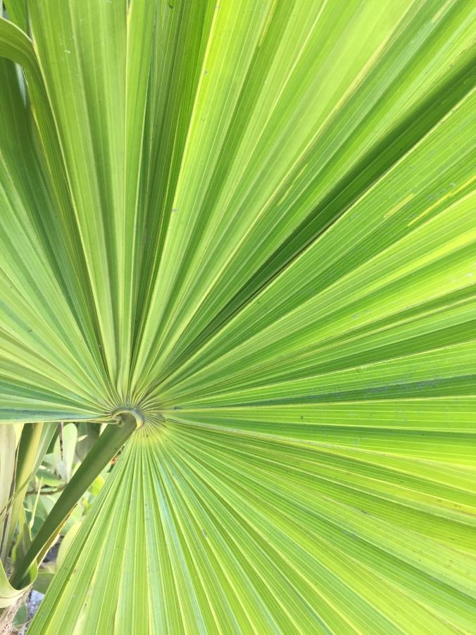 palm-leaf