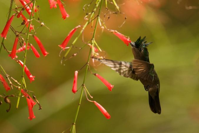 LESSER ANITLLEAN HUMMINGBIRD