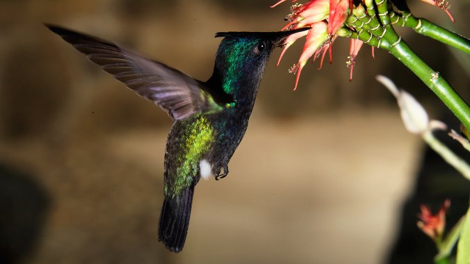 Our-Island-hummingbird